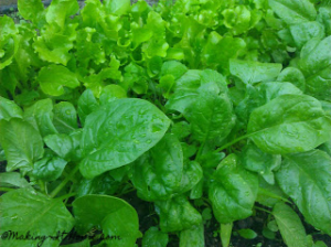 Garden spinach from urban homestead