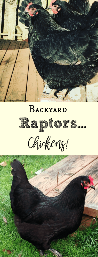 backyard raptors! Chickens